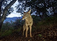 Griffith Park Coyote (18306740664).jpg
