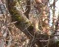 File:Grimpereau prospectant sur un chêne.ogv