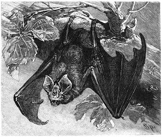 Greater horseshoe bat - Image: Grosse Hufeisennase drawing