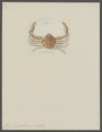 Guaja punctata - - Print - Iconographia Zoologica - Special Collections University of Amsterdam - UBAINV0274 096 07 0009.tif