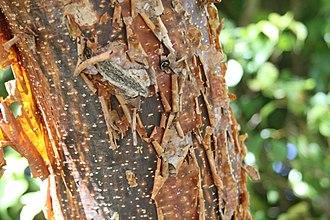 Bursera simaruba - Gumbo Limbo Tree bark in Duck Key, Florida