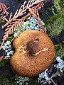 Gymnopilus parvisquamulosus Hesler 471916.jpg