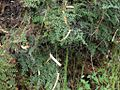 H20130318-6955—Pellaea andromedifolia—Mitchell Canyon (8586539511).jpg