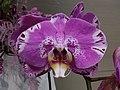 HK 中環 Central 國際金融中心商場 IFC Mall 紫色蝴蝶蘭花 purple butterfly orchid flowers January 2020 SSG 01.jpg