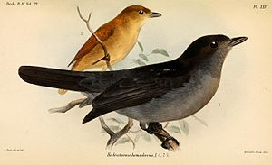 One-colored becard - Male (in front) and female (behind), illustration by Joseph Smit, 1888