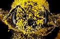 Halictus ligatus, F, face, Philidelphia, PA 2013-01-04-14.44.36 ZS PMax (8354392738).jpg