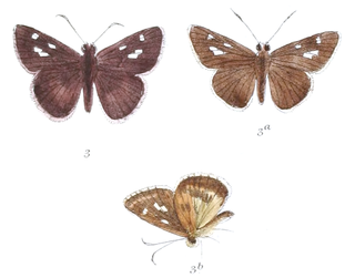 <i>Halpe</i> genus of insects