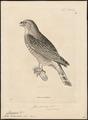 Harpagus bidentatus - 1700-1880 - Print - Iconographia Zoologica - Special Collections University of Amsterdam - UBA01 IZ18200268.tif