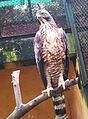 Hawk eagle.jpg