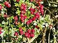 Hawthorn (Crataegus monogyna) fruit (8130705911).jpg