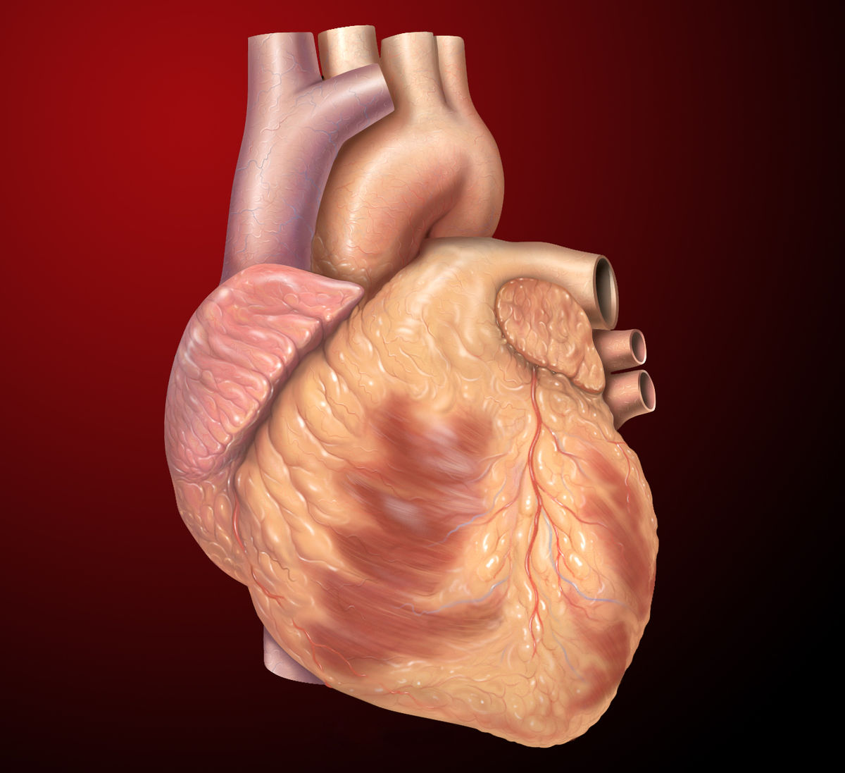 Heart wikipedia for Exterior of heart diagram