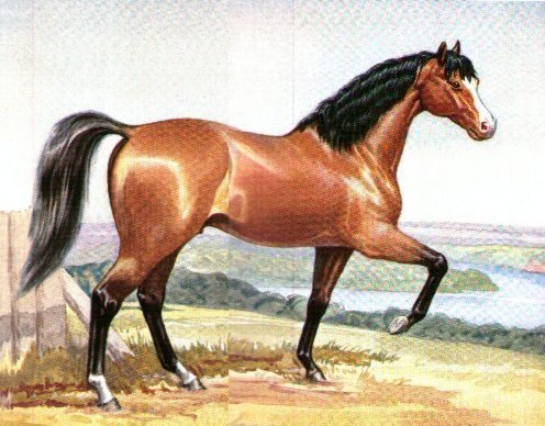 Bay paint arabian stallion