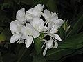 Hedychium coronarium inflorescence.jpg
