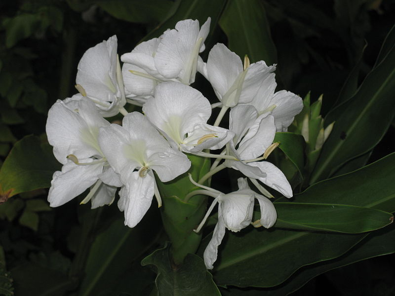 https://upload.wikimedia.org/wikipedia/commons/thumb/a/a0/Hedychium_coronarium_inflorescence.jpg/800px-Hedychium_coronarium_inflorescence.jpg