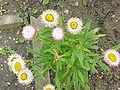 Helichrysum bracteatum5.jpg