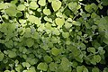 Helichrysum petiolare Limelight 0zz.jpg