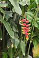 Heliconia Rostrata - 72.jpg