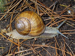 English: Helix pomatia, Helicidae, Burgundy Sn...