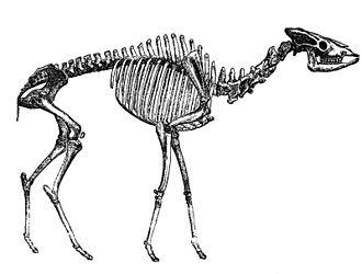 Скелет ископаемого жирафа Helladotherium