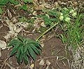 Helleborus bocconei 1.jpg