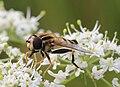 Helophilus trivittatus, Enfield, UK.jpg