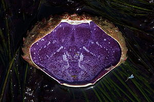 Hemocyanin - The underside of the carapace of a red rock crab (Cancer productus). The purple coloring is caused by hemocyanin.