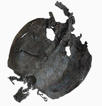 Placodontiformes - Skeleton of the placodontian placodontiform Henodus chelyops