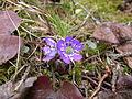 Hepatica nobilis(3).jpg