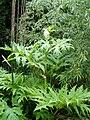 Heracleum mantegazzianum Sausal.jpg