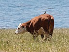 Hereford cattle Big Sur May 2011 003.jpg