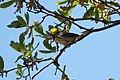 Hermit Warbler (male) Huachuca Canyon (upper) Sierra Vista AZ 2019-05-05 11-53-48 (47731566942).jpg