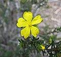 Hibbertia riparia -澳洲塔斯曼尼亞 Mt Amos, Tasmania- (10868118543).jpg