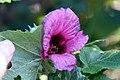 Hibiscus maculatus nipensis 0zz.jpg