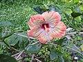 Hibiscus rosa sinensis hybrid-34-hanuman temple-muluvi-yercaud-salem-India.jpg