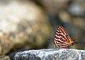 Himalayan Long-banded Silverline-Yazali.jpg