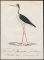 Himantopus autumnalis - 1800-1812 - Print - Iconographia Zoologica - Special Collections University of Amsterdam - UBA01 IZ17400181.tif