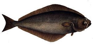 Atlantic halibut - Image: Hippoglossus hippoglossus 1