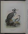 History of the birds of NZ 1st ed p334-2.jpg