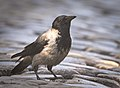 Hooded crow (51224760999).jpg