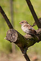 House sparrow (Passer domesticus) By Leszek.jpg