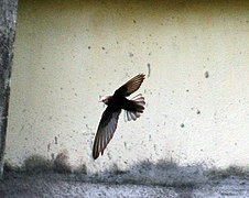 House swift I2 IMG 3262.jpg