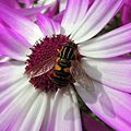 Hoverfly, Sandy, Bedfordshire (14016520532).jpg