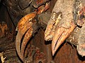 Hunting hornbill trophy IMG 8443 02.jpg