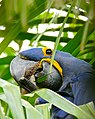 Hyacinth Macaw (Anodorhynchus hyacinthinus) feeding on palm nuts ... (28363314663).jpg
