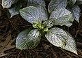 Hydrangea macrophylla Compacta NBG LR.jpg