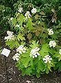 Hydrangea quercifolia3.jpg