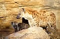 Hyenas (3890509221).jpg