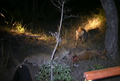 Hyenas Dominate a Leopard With a Kill Latest Wildlife Sightings HD 1.png