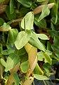 Hygroryza aristata 171015 01.jpg