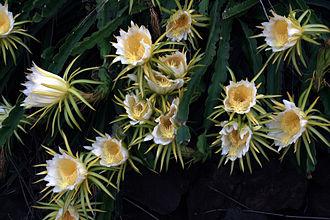 Pitaya - Image: Hylocereus undatus in bloom in Kona